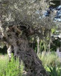 Olijfboom ca 1100 jaar oud
