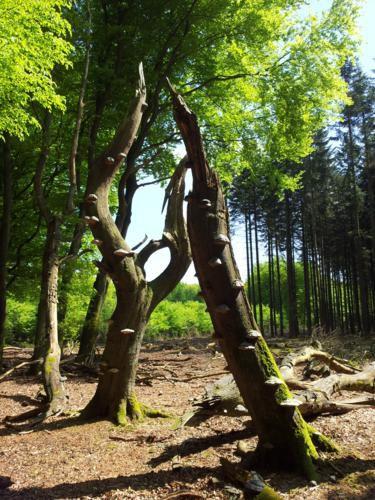 Tondelzwammen in het bos v.d. dansende bomen